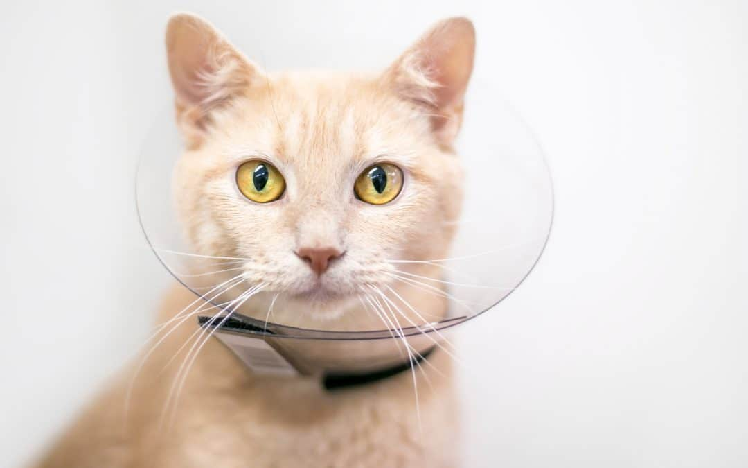 cat in elizabethan collar after fight