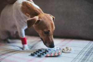dogs and pets with human medication panadol
