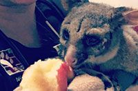 Possum Needs Veterinary Help After Hours