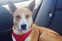 Red Heeler Presents With Kidney Failure