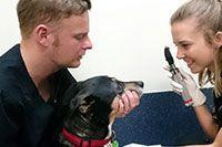 Corneal Ulcers In Pets