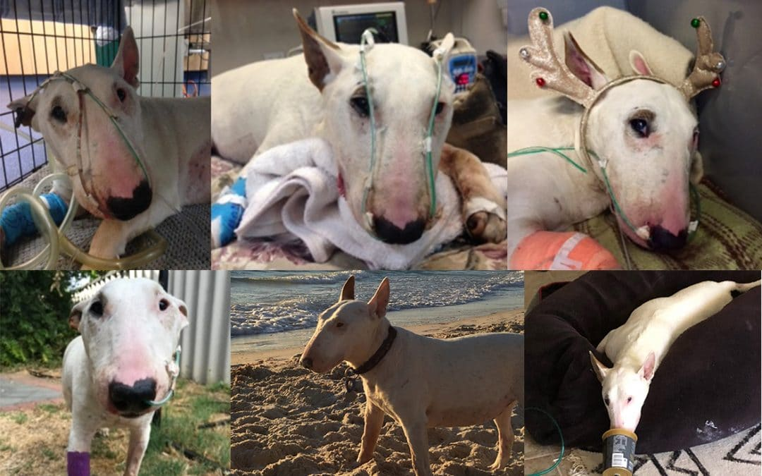 Mitchell the Mini Bull Terrier's Battle for Life